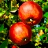 © Karol Grace PhotoID# 10884348: Michigan Apples