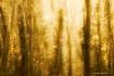 In Golden Woods