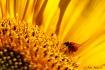 Ladybug on Sunflo...