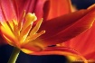 Whispering Tulip