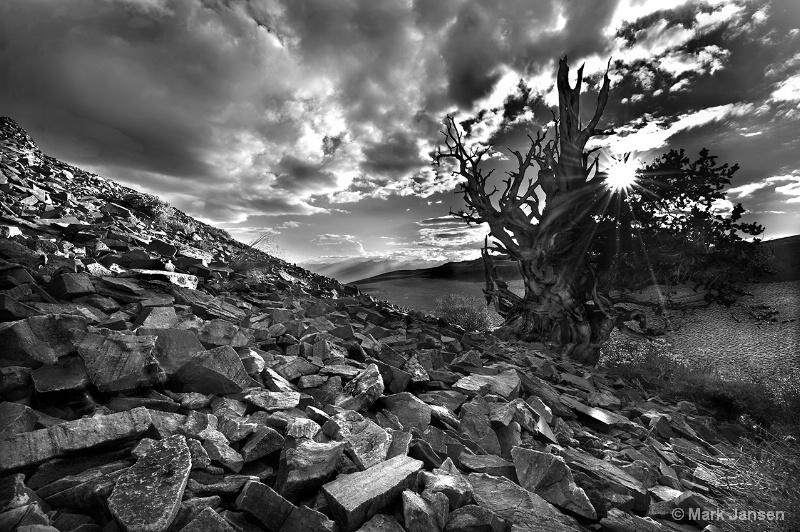 Black Bristlecone WWW.JANSENPHOTOEXPEDITIONS.COM