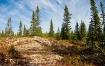 Black Spruce and ...