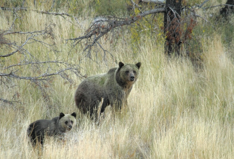 Grizzly Bears, Yellowstone N.P., Montana   9.21.10 - ID: 11022249 © Michael S. Couch