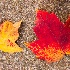© Karol Grace PhotoID# 11061374: Autumn Leaves