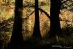Cypress Trees Sil...