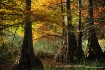 Cypress Trees Spl...