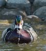 Bathing Wood Duck