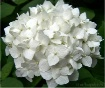 Bouquet of Purity