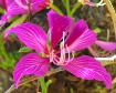 Jamaican Orchid T...