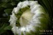 Feathered Protea ...