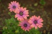 ~African Daisies~