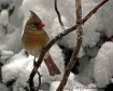 Snow Birds II - F...