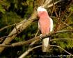 Pink Galah Cockat...