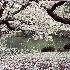 © John T. Sakai PhotoID# 11290201: Cherry Blossoms
