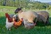 Farmyard Gatherin...
