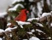Mr. Cardinal........