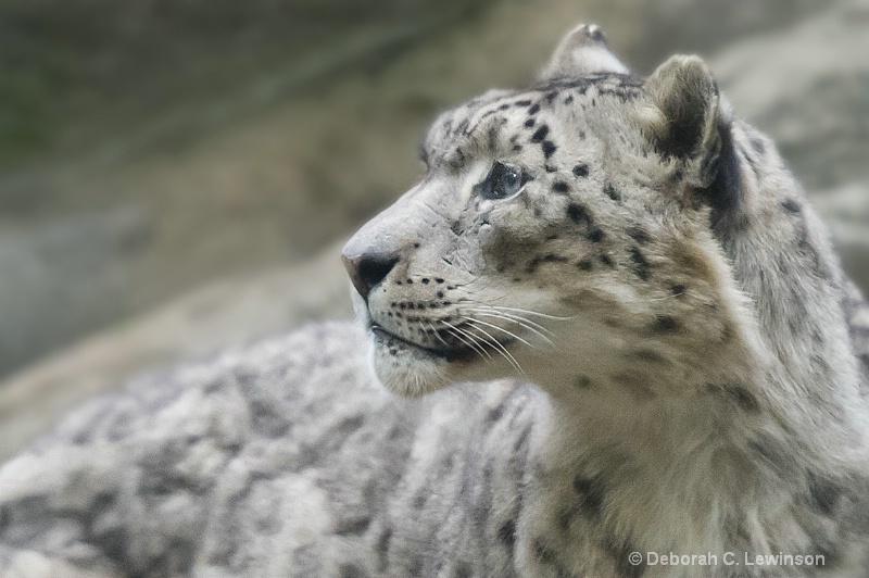 Snow Leopard -2 - ID: 11320656 © Deborah C. Lewinson