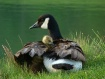 New Goose Family