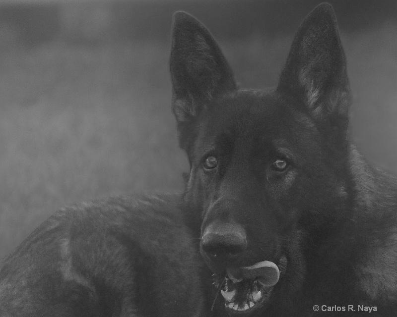 Lobo - ID: 11337502 © Carlos R. Naya