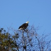 Roadside Eagle.