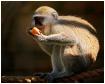 A hungry monkey