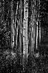 Aspen trees, B&W