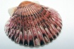 ~Scallop Shell~