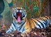 The Tiger, Animal...