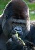 Gorilla Breakfast