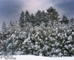 Snowy Pines - Pan...