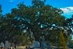 oak tree dsc 0415
