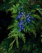 Cedars Berrys