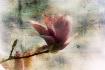 Magnolia with tex...