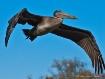 pelican in flight...
