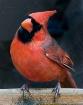 Cardinal Curiosit...