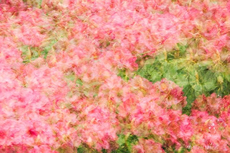 photo-impressionistic-rhododendrons788-074 - ID: 11483137 © Marilynn Mann