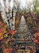Walkway and Birch...
