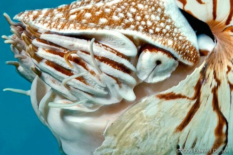 Chambered Nautilus 3 - ID: 11489113 © Edward Dorson