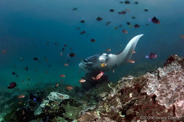 Manta Ray Reefscape - ID: 11489134 © Edward Dorson