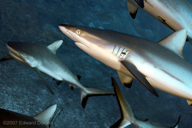 Patrolling Sharks - ID: 11489148 © Edward Dorson