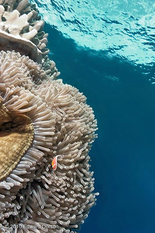 Anemonefish Scenic 1 - ID: 11489182 © Edward Dorson