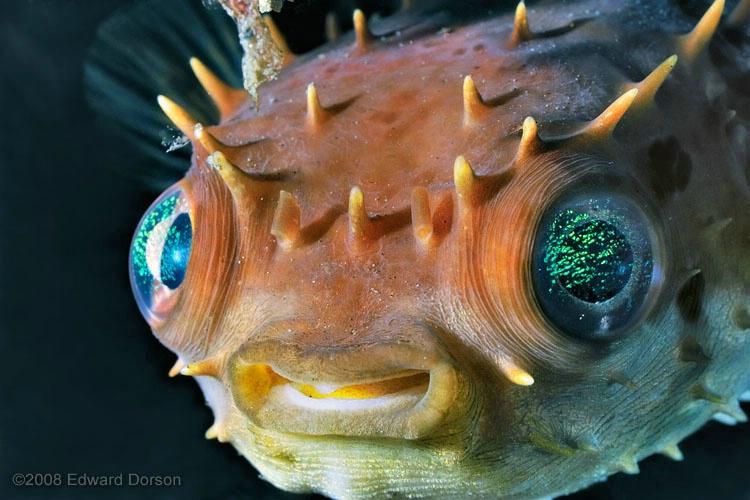 Porcupinefish - ID: 11489228 © Edward Dorson