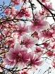 Japanese Magnolia...