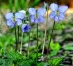 Woodland violet t...