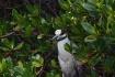 Night Heron in th...