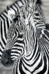 Winter Zebra Patt...