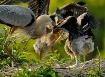 GBH chicks week 6...
