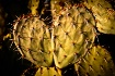 Prickly Pear cact...
