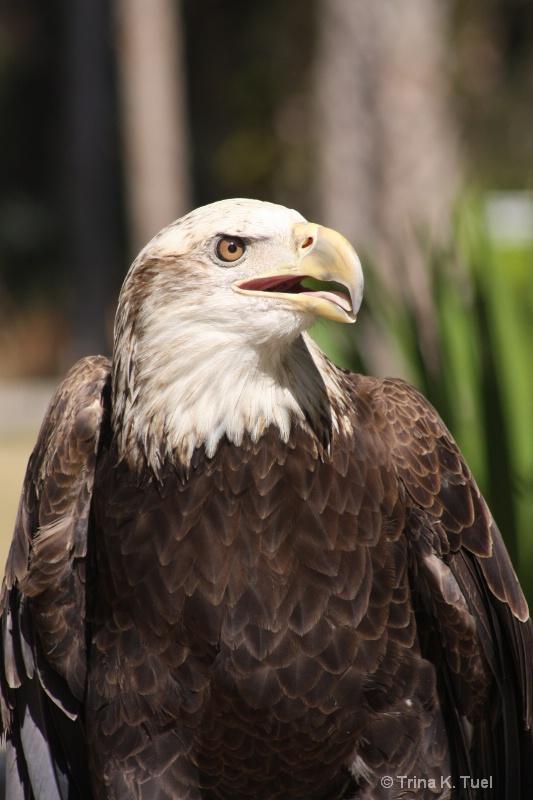 Bald Eagle - ID: 11579896 © Trina K. Tuel
