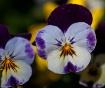 Sunny Violas